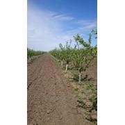 Продается Сад слива 3-его года – 23 га ( сорт Стэнлей), Орхей, Крихана фото