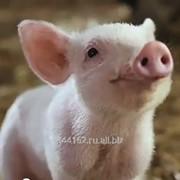 Комбикорм полнорационный для свиней (1-6 мес.) фото
