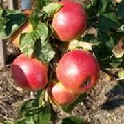 Яблоки стандартные для хранения и промышленной переработки фото