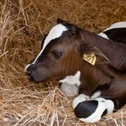 Заменитель цельного молока от 15 дня,для телят фото
