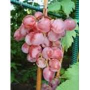 Саженцы и чубуки столовых сортов винограда в больших количествах. фото