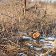 Корчевание деревьев, старых садов - яблони, груши, черешни и т.д. фото