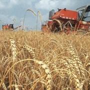Выращивание зерновых культур, пшеница, ячмень, соя, подсолнечники фото