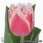 Тюльпан Queensland фото