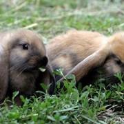Кролики породы немецкий баран фото