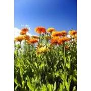 Цветы календулы,травы лекарственные,календула лекарственная цветы продажа, импорт экспорт, опт фото