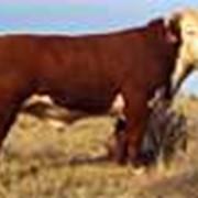 Откорм бычков герефордской породы фото