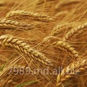 Зерно в Молдове,Зерно в Кишиневе фото