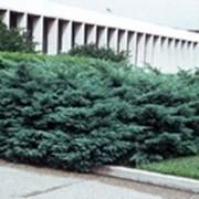 Можжевельник виргинский Хетц фото