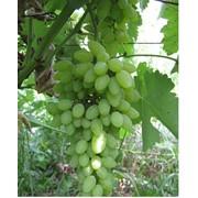 Виноград Тимур фото
