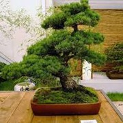 Обрезка хвойных деревьев фото