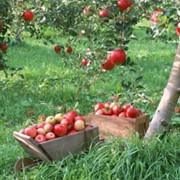 Яблоки - осенние сорта: Деличия Ран, Гала- Маст, Кинг - Джона - Голд, Чемпион - Рено, Глостер ( единственный сорт красных яблок, который не вызывает аллергии) фото