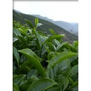 Зеленый чай, отдушка фото