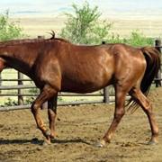 Лошади, кушумская порода лошадей фото