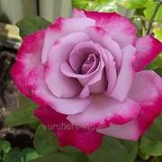 Розы Дип Перпл фото