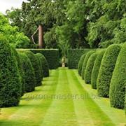 Услуга по фигурной стрижке деревьев, топиар фото