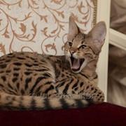 Котёнок Саванна Ф1 (Ашера) фото