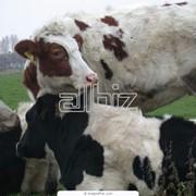 Осеменение коров и телок фото