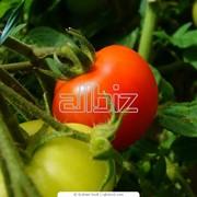 Выращивание овощей, фруктов, ягод фото