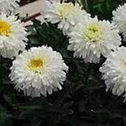 Ромашка Макарун (Leucanthemum Macaroon) фото