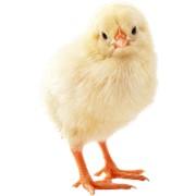 Принимаем заказы на все виды птицемолодняка на сезон 2013 года фото