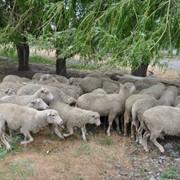 Племенное животноводство в Донецкой области, продажа племенных овец, продажа баранов мясной породы фото