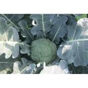 Семена капусты брокколи Румба F1 2500 семян фото