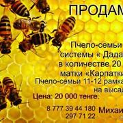 Продам пчел, на высадку. Продажа на рамках системы Дадан. фото