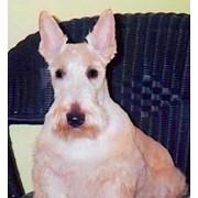 Профессиональная стрижка собак фото