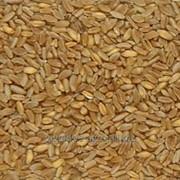 Семена озимой пшеницы Солярис Франция фото