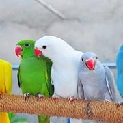 Ожереловый попугай фото