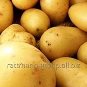 Семена картофеля, Скарлетт фото