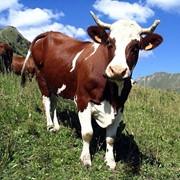 Вакцина пр / ЭМКАРА КРС и овец конц гидроокисьал/фармолкв фото