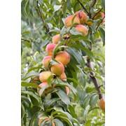 Персик все сорта в Молдове фото