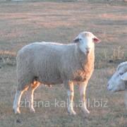 Продаём суягных овцематок фото