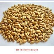 Зерно фуражное и продовольственное фото