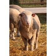 Овцематки фото