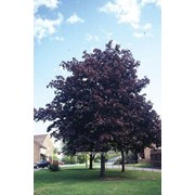Вишня Prunus cerasifera Nigra Обхват ствола 250-300 фото