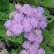 Агератум или Долгоцветка фото