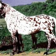 Алтайская порода фото