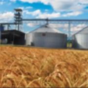 Реализуем пшеницу, ячмень, тритикале, гречиху фото