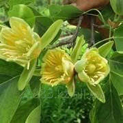 Тюльпановое дерево саженцы фото