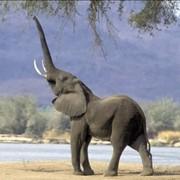 Охота на слона фото