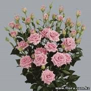 Роза кустарниковая Astral фото