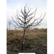 Обрезка плодовых деревьев фото