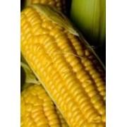 Кукуруза (семена) фото