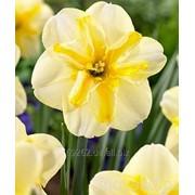 Narcissus Donau Park Нарцисс Донау Парк 14-16 фото