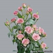 Роза кустарниковая Gracia фото