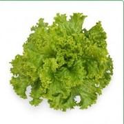 Семена салата KS 129 фирмы Китано фото
