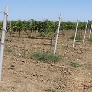 Шпалера виноградная фото